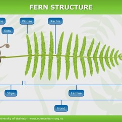 Life Cycle Of Moss Plant Diagram Origami Tiger Fern Structure — Science Learning Hub