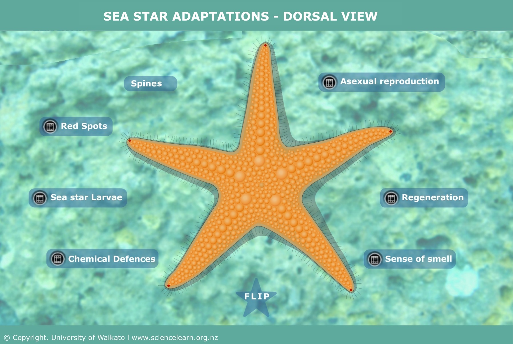 hight resolution of sea star adaptations dorsal view