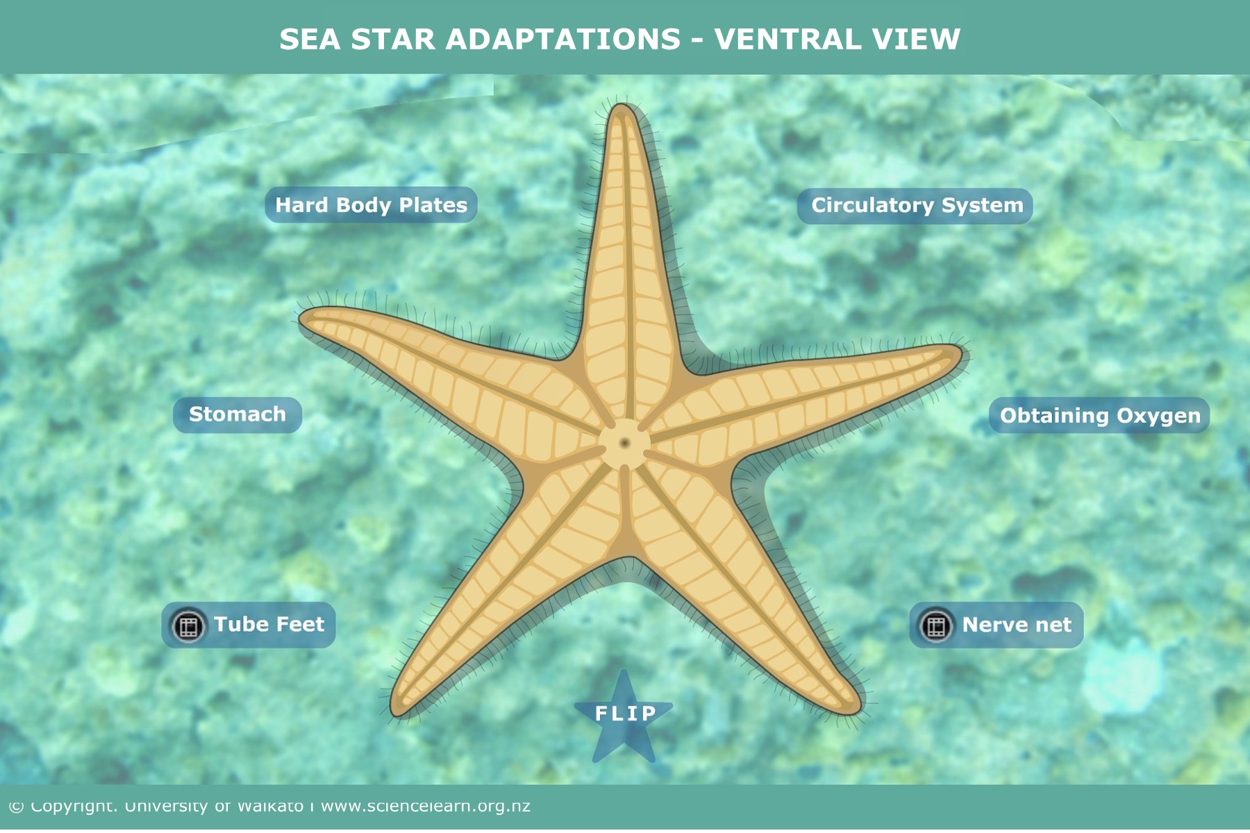 hight resolution of sea star adaptations ventral view