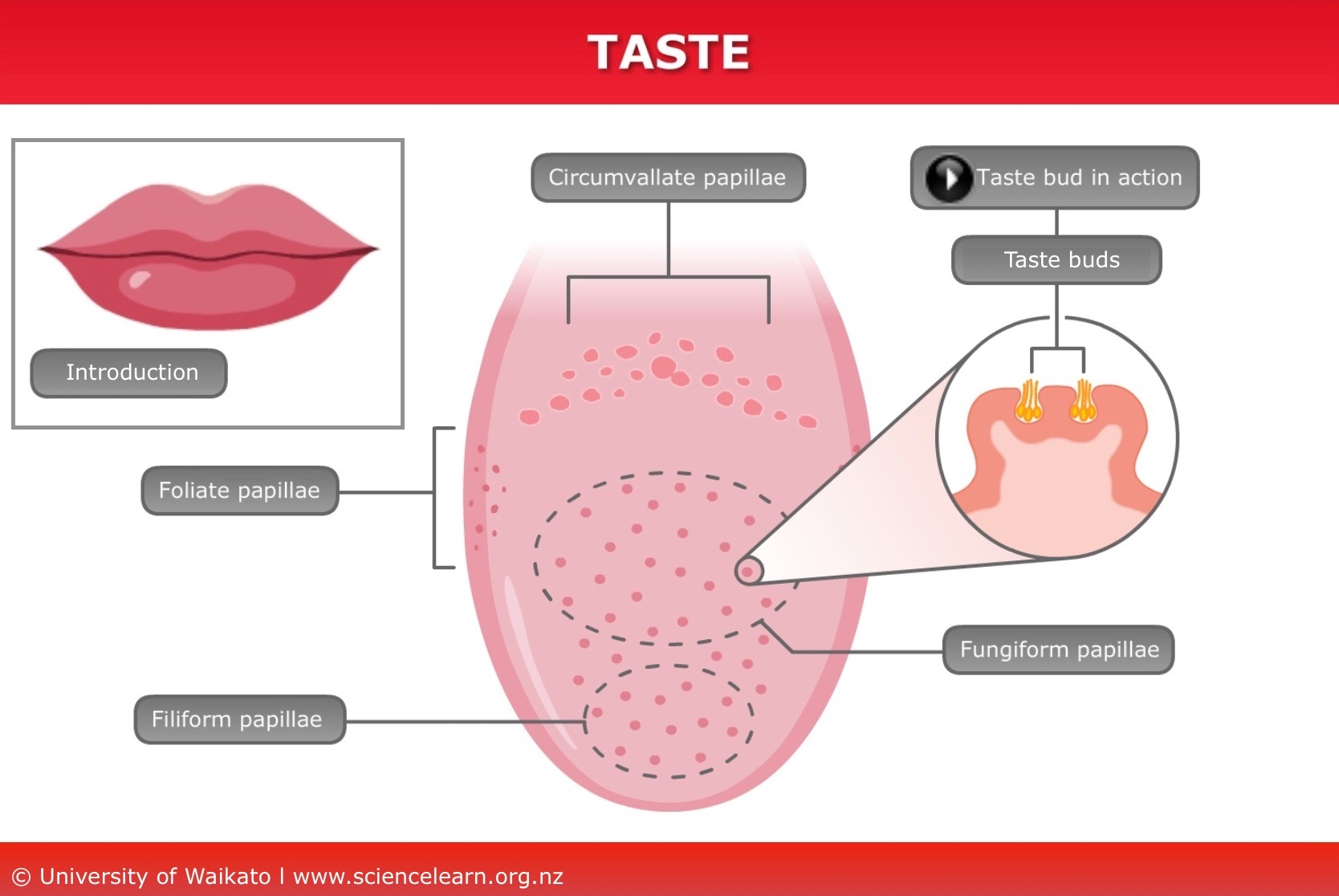 human taste buds diagram 240sx sr20det wiring science learning hub the tongue is a complex structure made of four different types papillae it in three these structures that are located