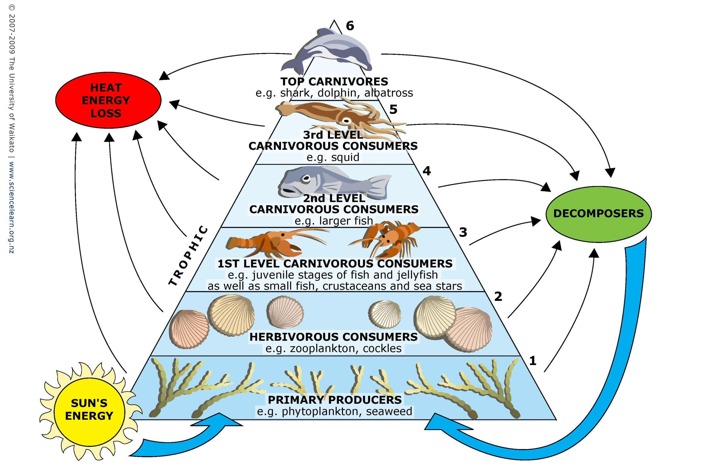pond ecosystem diagram 2000 honda civic exhaust system marine food webs  science learning hub