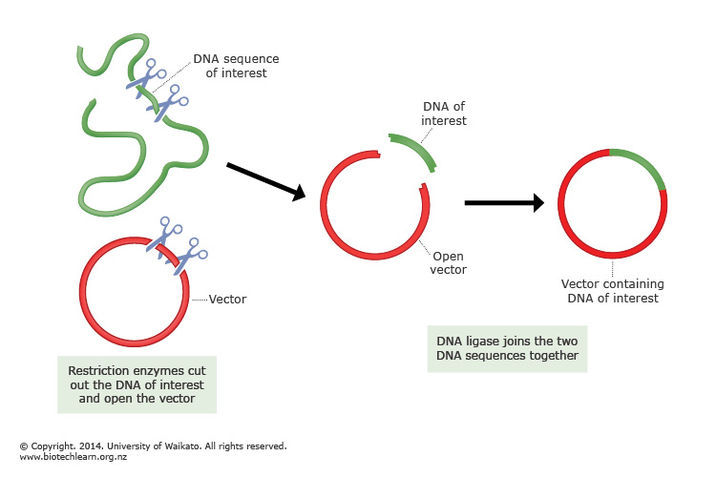 how to clone a gene into a vector