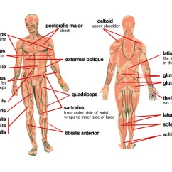 Kidney Location In Humans Diagram Dodge Dart Wiring Meet Some Muscles — Science Learning Hub