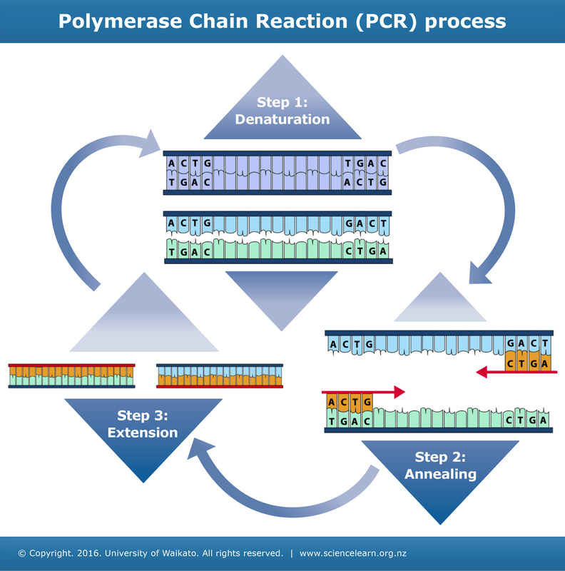 Three steps of PCR — Science Learning Hub