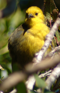 The Mohua, one of the native bird species DOC aims to protect with its increased predator control.