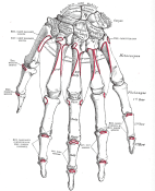 Anatomy of the human hand, from Gray's Anatomy (source: Wikipedia)
