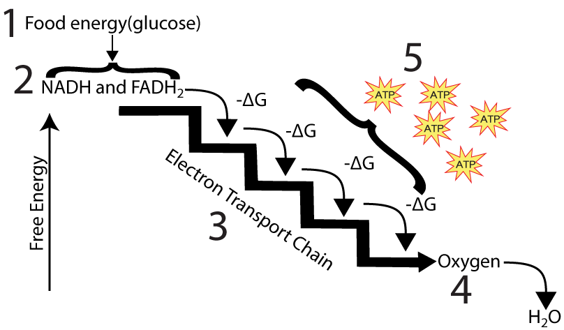 The Electron Transport Chain and Oxidative Phosphorylation