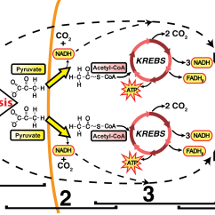 Electron Transport Chain Diagram For Dummies Car Amplifier Wiring The And Oxidative Phosphorylation Interactive Tutorial