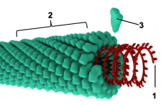 relationship between capsid and capsomere image