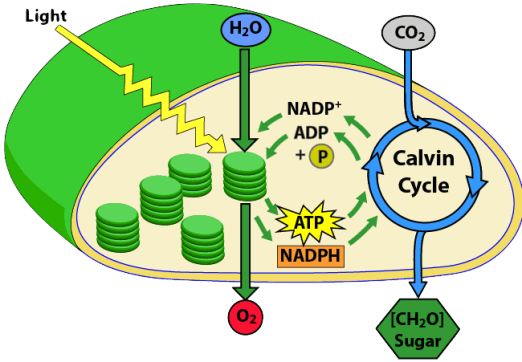 Photosynthesis 5 The Calvin Cycle And Comparing Photosynthesis And