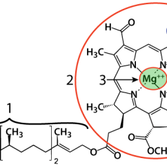 Light Reactions Photosystem Diagram 1972 Jeep Cj5 Wiring Photosynthesis 4 The Interactive Tutorial Chlorophyll Is Found Embedded Within A Thylakoid Membrane If You Look At Diagrams Above Can Find Represented By Green Circles