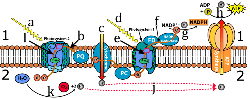Photosynthesis 4 the light reactions ap interactive tutorial letter a shows a photon striking the antenna complex of photosystem 2 as described above the photon will excite electrons in chlorophyll and the energy ccuart Choice Image