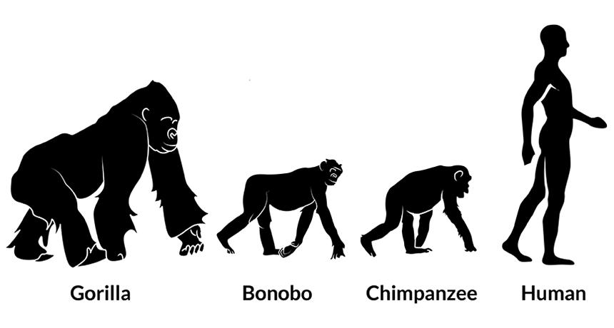 Evolution of gut bacteria tracks splits in primate species