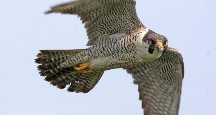 Резултат со слика за peregrine falcon