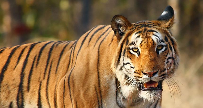how a tiger transforms