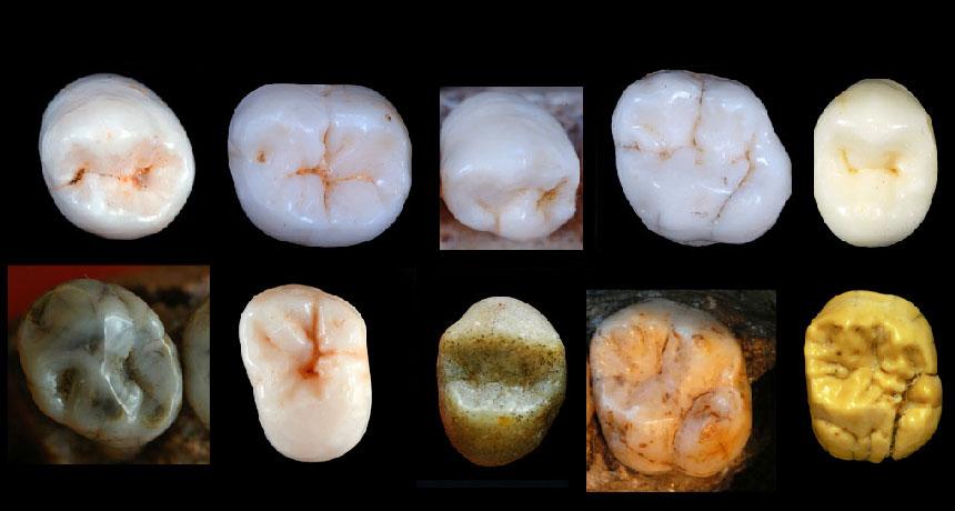 fossil teeth put human