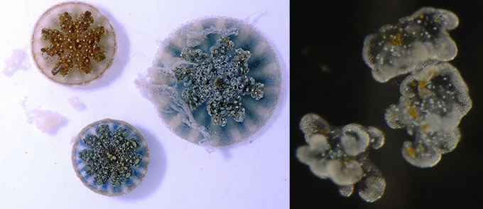 jellyfish mucus and magnified cassiosomes