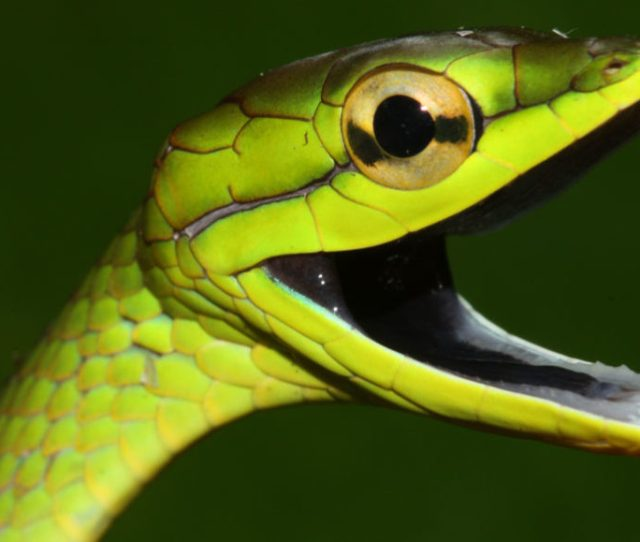 Snakes Suffered After A Frog Killing Fungus Wiped Out Their Food