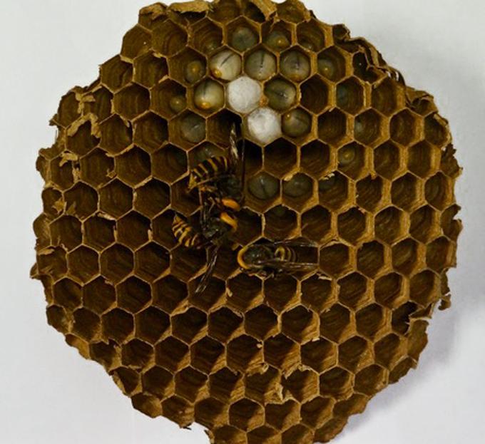Giant hornet nest