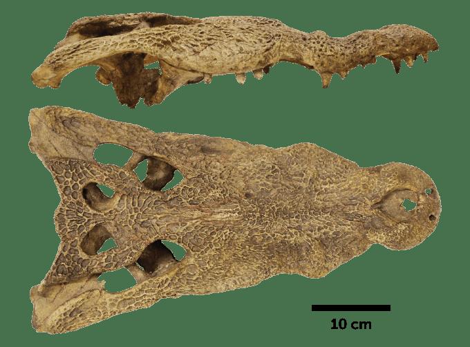 ancient African crocodile skull