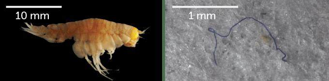 amphipod and microfiber it ingested
