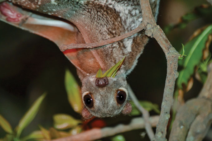 An upside-down colugo looking directly at the camera