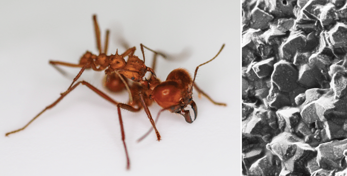 Left: soldier ant; right: close-up of calcite armor on smaller ant