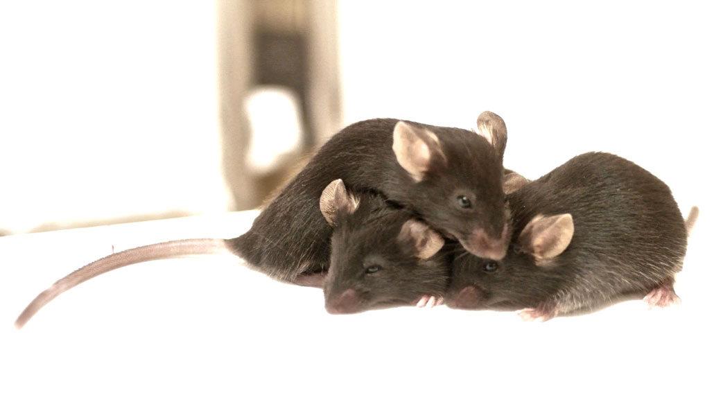 mice cuddling