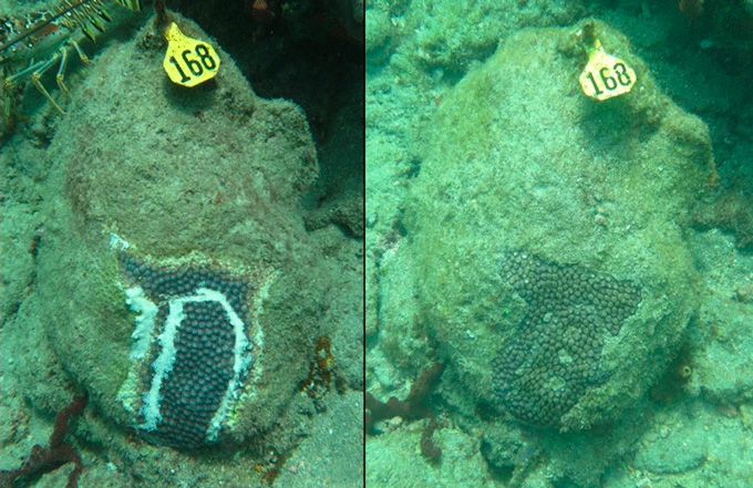 left: coral treated with antibacterial paste. right: same coral healed 11 months later