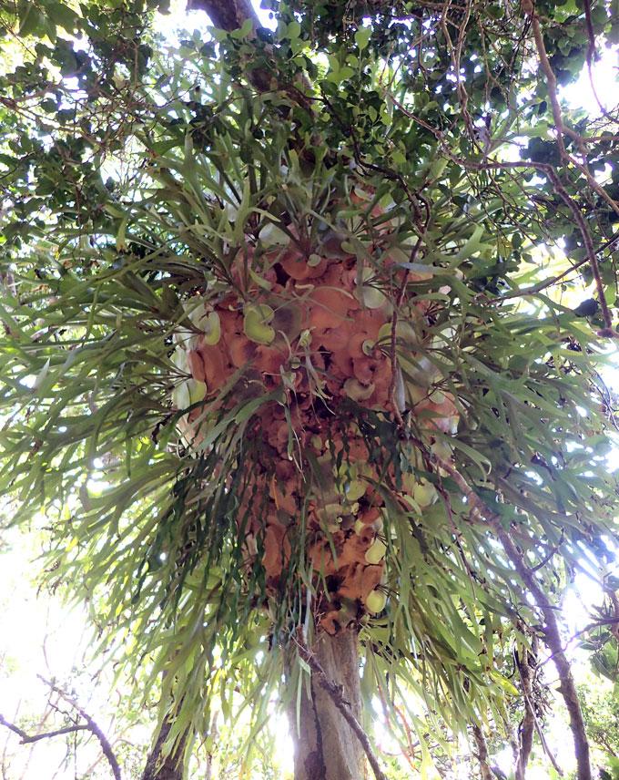 bir ada sedir ağacı üzerinde geyik boynuzu eğreltiotu kolonisi