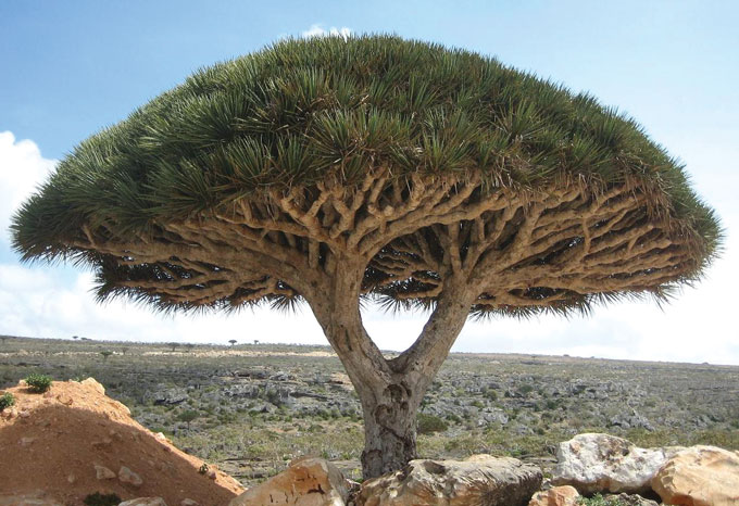 a photo of a dragon's blood tree