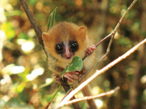 a mouse lemur grabs a branch