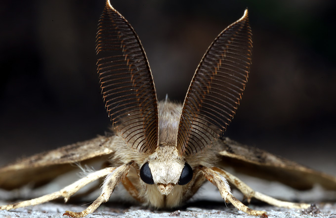 the moth Lymantria dispar, which has large tufted antenna, looking directly at the camera