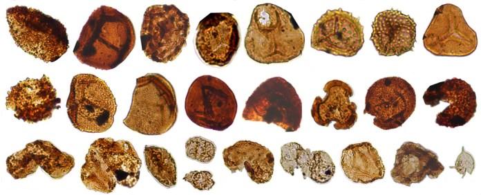 three rows of ancient pollen spores