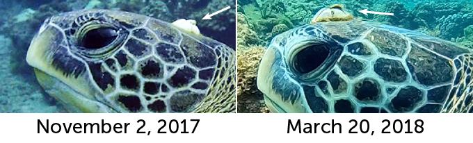 a barnacle on the head of a green sea turtle in November 2017 and March 2018