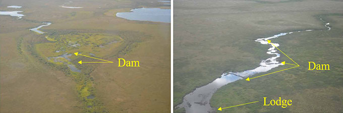 aerial photos showing where beavers built dams or lodges