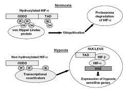 How hypoxia/altitude works