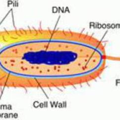 Microbiology Prokaryotic Cell Diagram Labeled 2002 Suzuki Gsxr 750 Wiring Parts Functions Drawing Of