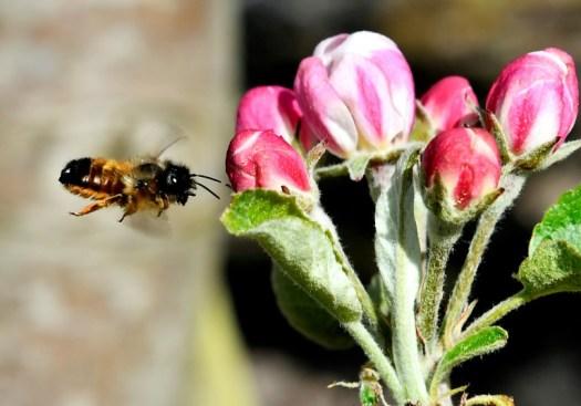 Les osmies butinent très rapidement, jusqu'à 17 fleurs par minute, et ne repassent jamais deux fois sur la même fleur car elles les marquent (AFP/Archives - GEORGES GOBET)