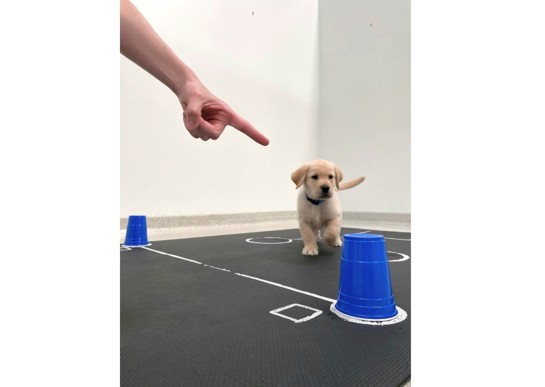 A dateless photo provided by Canine Companions, showing a Labrador puppy walking towards a cup hiding a treat, as pointed out by the experimenter (AFP - -)