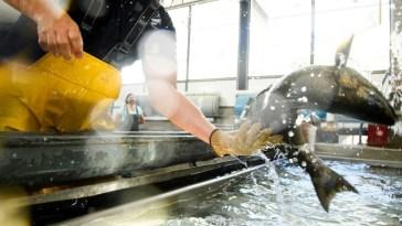Face à la sécheresse, la Californie met ses saumons dans des camions