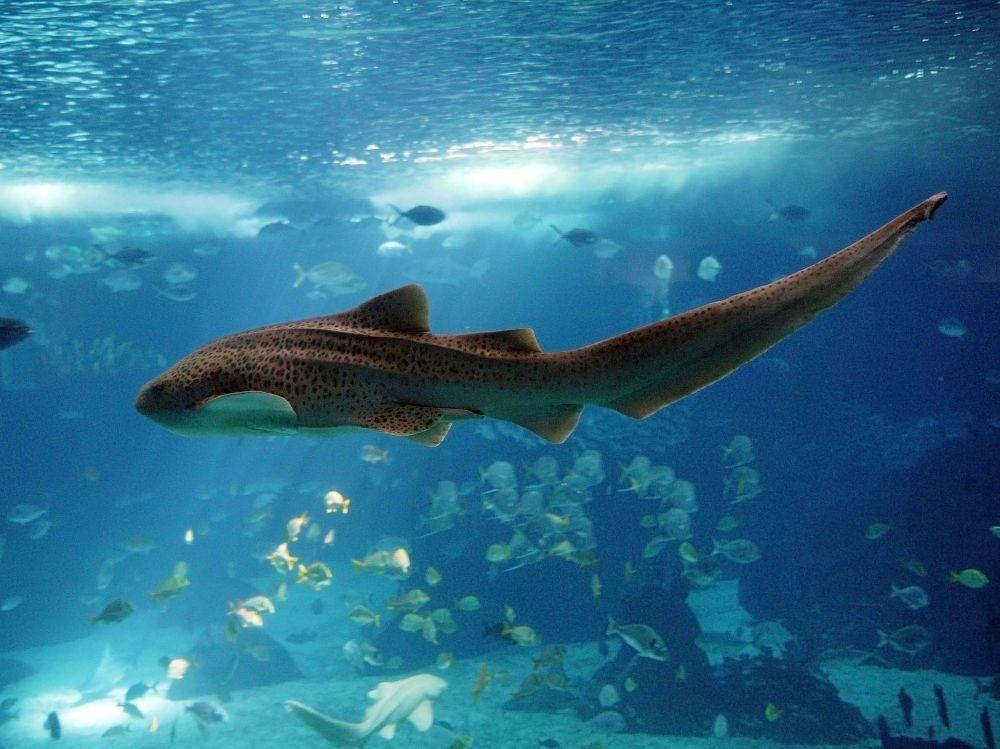 La femelle requinzbre peut changer de mode de reproduction  Sciences et Avenir