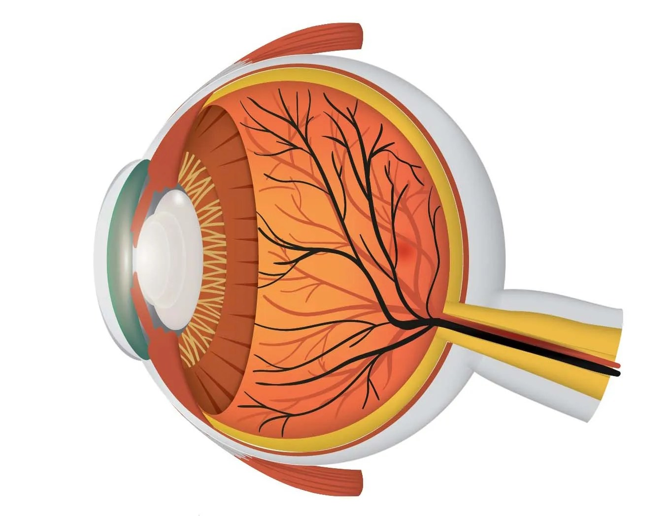 Parts Of The Eye For Kids