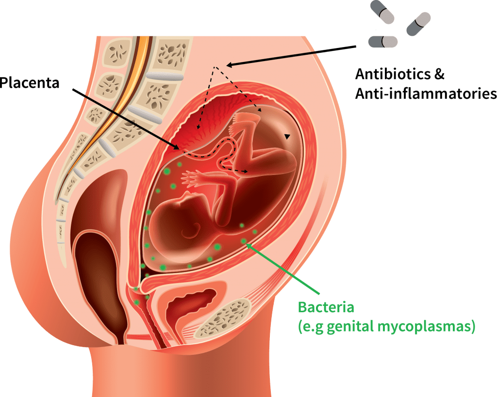 hight resolution of  the drug on fetal organ development and physiological function the team which involves collaborators across australia and canada will use a number of