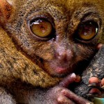 Primaat die met ultrageluid 'praat' ontdekt