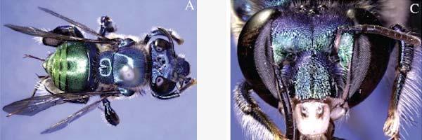 De bij die zijn naam aan Sheldon Cooper te danken heeft. Foto's: Euglossa (Glossura) bazinga sp. n. (Hymenoptera: Apidae: Apinae, Apini, Euglossina), a new orchid bee from western Brazil, and designation of a lectotype for Euglossa (Glossura) ignita Smith, 1874.