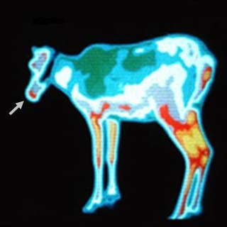 De neus van rendieren blijkt echt rood wanneer we ze met behulp van een thermografische camera bekijken. Afbeelding:  Department of Arctic and Marine Biology, University of Tromsø.