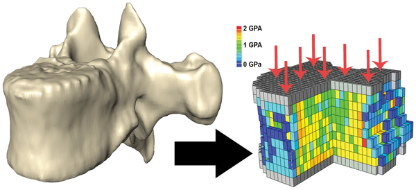Biomechanisch model voor het vaststellen van de botsterkte. Afbeelding: Cotter, M.M, Loomis D.A, Simpson, S.W, Latimer, B, Hernandez C.J. (2013) Human Evolution and Osteoporosis-Related Spinal Fractures. PLoS ONE 6(10): e26658. doi:10.1371/journal.pone.00266558