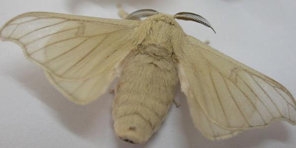 zijdevlinder