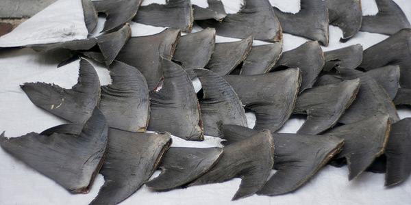 haaienvin